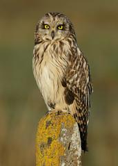 Short-eared Owl Asio flammeus (Iain Leach) Tags: image wildlife photograph owl predator birdofprey birdphotography wildlifephotography avianexcellence shortearedowlasioflammeus flickrsfinestimages1 vision:text=0694