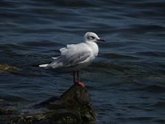 Bird on a rock in the sea (AP4P0390) (Alex Panoiu) Tags: birds romania blacksea