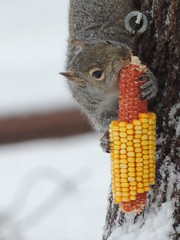Our Little Corn Thief (Explore) (rabidscottsman) Tags: scotthendersonphotography verticalformat corn squirrel eating thief chewingthrough animal animalphotography greysquirrel nature minnesota food snow tree cold survival earofcorn nikon nikonp520 coolpix p520 feeder snowy yellow yellowcorn meal chewing cute biting smart bite bark holdingon fur furry shoot explore