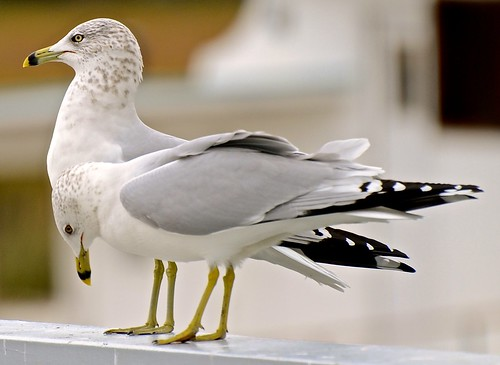 Ring-billed Gull - Larus delawarensis - Salty Dog - Sea Pines HH SC