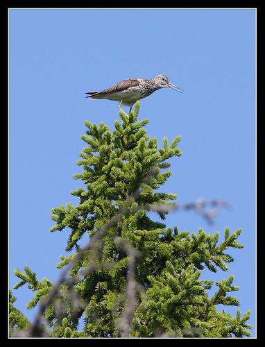 Большой улит Tringa  nebularia Common Greenshank