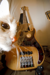 Precision_Bass_flash_09 (jjay69) Tags: music pet animal skyline cat feline bass guitar quality flash ghost deep indoor tommy fender instrument precision 1978 musicalinstrument ghostly bassguitar pickups gingercat pbass gingertom 4string highquality