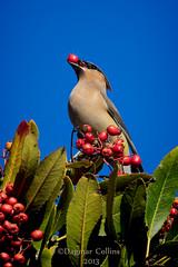 Look what I've got! (-Dagmar-) Tags: birds berry waxwing cedarwaxwing heteromeles toyon
