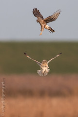 Attac (eric-d at gmx.net) Tags: circus cyaneus asio flammeus shorteared owl northern harrier marsh hawk ngc eric naturepicturede sumpfohreule kornweihe weihe