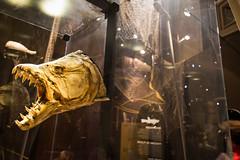 Tervuren's fish (Alessandro Vecchi) Tags: brussels fish monster museum europa europe belgium belgique bruxelles musee tervuren mostro pesce belgio