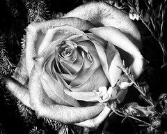 Rose b&w- (big andrei) Tags: leica bw flower macro rose monochrom elmar 90mm40