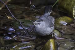 Gray Catbird (Bob Gunderson) Tags: sanfrancisco california goldengatepark birds northerncalifornia botanicalgardens graycatbird dumetellacarolinensis thrashersmockingbirds