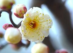 Japanese Apricot (love_child_kyoto) Tags: winter flower nature spring kyoto        japaneseapricot  kitanotenmangushrine    masterphotos sugawaramichizane artisticflowers takenwithlove   nikond800 mindigtopponalwaysontop lovelyflickr   dreamlikephotos takenwithhardwork lovelynewflickr pandaonflickr