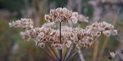 Seeds for next year. (davemac43) Tags: field cow seed lancashire heads parsley depth colliery accrington huncoat