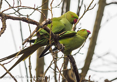 Mating ring necked parakeets (froomey) Tags: nature birds wildlife feather aves parakeet mating gardenbirds wildbirds psittaculakrameri ringneckedparakeet olympuszuiko300mmf28 olympusomdem1