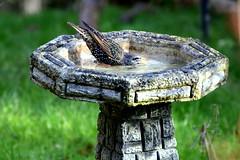 Slurp slurp.... (wightbern) Tags: nature birds nikon wildlife starling isleofwight rspb gardenbirds d7000 nikonnaturephotography