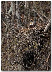 Bonnie & Alpha E (Tustin Designs) Tags: nature spring nest raptor bonnie alpha birdsofprey baldeagles eaglets southwesternpa dailynaturetnc12 april2014