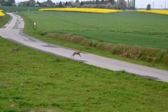Chevreuils traversant une route (Morgane_W) Tags: nikon champs deer route animaux campagne roe chevreuils cervids d3100