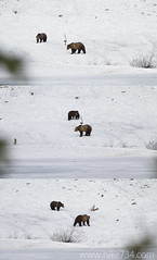 """Courting Grizzlies • <a style=""""font-size:0.8em;"""" href=""""http://www.flickr.com/photos/63501323@N07/14127767207/"""" target=""""_blank"""">View on Flickr</a>"""