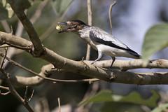 Black-crowned Tityra (Anamb-branco-de-bochecha-parda) (Fabio Rage) Tags: branco de rage fabio bochecha parda inquisitor blackcrowned tityra anambe