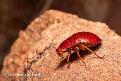 Cockroach-5.jpg (Jordan de Jong) Tags: nature insect flickr australia jordan roach cockroach northernterritory invertebrate dejong centralaustralia minibeast erldunda blattodea