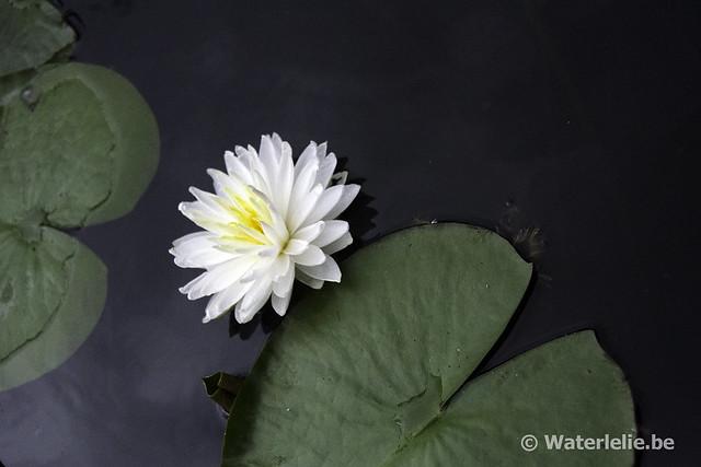 Waterlelie Snowflake / Nymphaea Snowflake