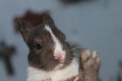 IMG_6416 (Gioser_Chivas) Tags: rabbit bunny animal conejo mascota mamifero vertebrado gioserchivas
