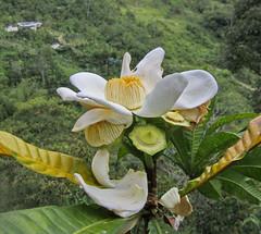 Lecythidaceae (jjrestrepoa (busy)) Tags: wild flower tree arbol colombia flor silvestre antioquia olleta lecythidaceae ollademono gustaviasp
