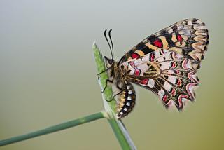 Zerynthia rumina (Spanish Festoon, spaanse pijpbloemvlinder)