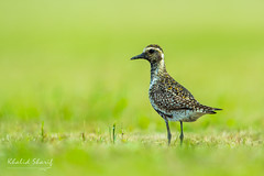 "Pacific Golden Plover (Pluvialis Fulva) 金斑鸻  jīn bān héng (China (Jiangsu Taizhou)) Tags: nikon d5 600mm f4 vr birds 2016 china birdsofchina nantong xiaoyangkou forest park wildlife birding forestpark 南通小洋口 pacificgoldenplover pluvialisfulva 金斑鸻 jīnbānhéng ngc nationalgeographic birdwatching birdwatcher ""shore bird sea water"