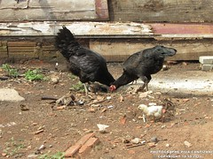 GALINHA,GALO E PINTINHO (PHOTOGRAPHE PIVA CANTIZANI) Tags: galinha galoepintinho
