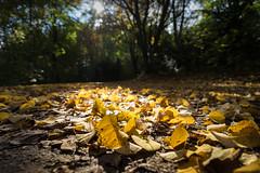 Fall colors 1 (herr_muenchen) Tags: bltter herbst laub oktober sendling spaziergang golden