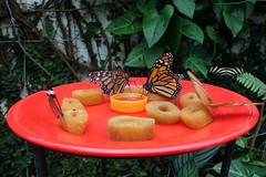 Icod de los Vinos: butterfly garden 'Mariposario del Drago' - Monarch (JdRweb) Tags: butterfly icoddelosvinos sonydscrx100 tenerife