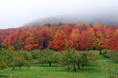 Orchard in Fall with Great Foliage (pegase1972) Tags: qc qubec quebec canada montrgie monteregie fall autumn foliage nature montagne mountain fog foggy landscape orchard licensed 500px shutter dreamstime