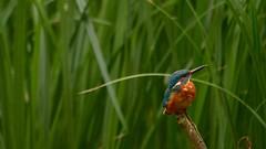 Braving the Rain (J @BRX) Tags: kingfisher alcedoatthis adeldam goldenacrepark bramhope leeds yorkshire england uk september2016 autumn bird fishing waterbirds yorkshirewildlifetrust