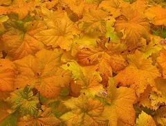 Gilded (MistyDaze) Tags: fall autumn color yellow gold red green orange gilded mountrainier thimbleberry rubusparviflorus us unitedstates northamerica washington pacificnorthwest nature natural wild wildflower berry leaves nationalpark mountrainiernationalpark autumnleaves fallleaves farmhousewhimsy whimsy