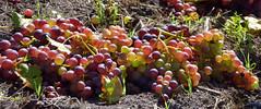 Grapes (gps1941) Tags: weintrauben
