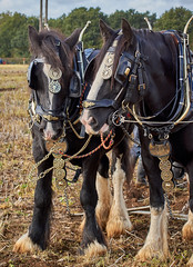 DSC05588 (Andy Oldster) Tags: eashing godalming farm plough ploughing heavyhorses shire sony alpha a65 slt