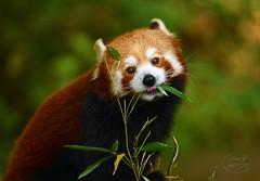 Pandas meal (MaiGoede) Tags: zoo zoomerlebniswelt carnivora kleinerpanda ailurusfulgens hundeartige raubtiere canoidea ailurus ailuridae littlepanda panda nature natur naturfoto nikon redpanda