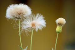 daisy (press & pleasure - pap) Tags: bangladesh nature flower bangladeshi barisal asian