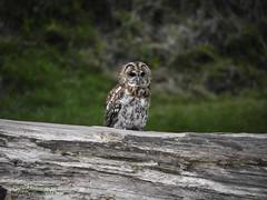 Tawny Owl (johnhontai) Tags: owl outwood surrey birdofprey wildlife tawnyowl 100300mmlens mirrorless g6 panasonic kempophotography