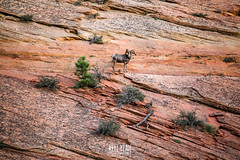 2016_09_western_vacation_Zion-1 (KellYeahPhotography) Tags: animals antelopecanyon arches arizona beautiful bighornsheep blackcanyon bluemesa boating boxcanyon camping cascadefalls clearlake colorado colors concerts deadhorsepoint denver desert devilmakesthree dogs fall family flowers fourcorners grandcanyon hiking horseshoebend huskies icelake kellyeah knox lakepowell landscapes livemusic love lupa mesaverde moab mountains nationalparks nature newmexico ouray outdoors outside redrocks scenery shakeygraves slotcanyon stars steve summer sunset sunshine trees utah vacation waterfalls west woodbrothers zion