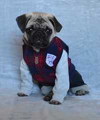 Boo The Abercrombie Pug Model (DaPuglet) Tags: pug pugs dog dogs pet pets puppy puppies animal animals pose model cute costume rescue