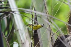 olive-backed sunbird (arcibald) Tags: bangkok thailand samutprakan phrapradaeng พระประแดง บางกะเจ้า bangkachao olivebackedsunbird sunbird bird birds aves
