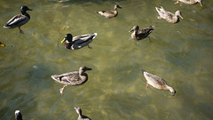 10-10-2016 008 (Jusotil_1943) Tags: 10102016 nadar agua patos ducks