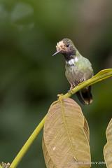 Rufous-crested Coquette (Lophornis delattrei) juvenile (Gmo_CR) Tags: lophornisdelattrei rufouscrestedcoquette coquetacrestirrojiza juvenile juvenil turrialba costarica rancho naturalista