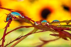 Macro La maCRA, Magia ! D300s (Mario jr Nicorelli ( Salgareda Treviso )) Tags: macro macrofotografia sigma d300s nikon nicorelli nikond300s mottadilivenza fotografico fiori goccia gocce salgareda sandondipiave oderzo