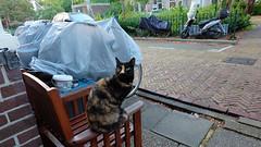 (Lin ChRis) Tags: netherlands holland cat feralcat   zaandam