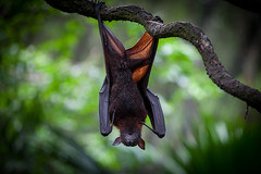 I See The World Upside Down (Gerald Ow) Tags: geraldow bat canon eos 5dmkii ef 70200mm f28lii singapore zoo zoological garden bokeh