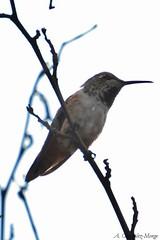 Colibr rufo / Rufous Hummingbird (Selasphorus rufus) (avgomo) Tags: usa unitedstates eeuu estadosunidos california losangeles ballona fauna aves birds colibr hummingbird