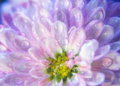 Details (SoonerChick14) Tags: macro cy365 flowers potd pink