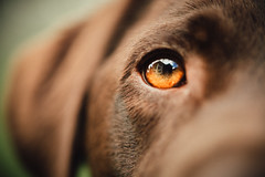 Ziggy (Greig Reid) Tags: dof portrait color face cute canon chocolatelabrador colour labrador naturallight ziggy pet availablelight lab dog closeup handsome family chocolate 5d eye