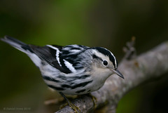 Black and White Warbler (Danielirons02) Tags: nikontc14 nikond610 nikon nikon300mmf4 warbler baww blackandwhitewarbler fullframe maryland maryland2016 queenannescountymd queenannescounty md 2016 songbird