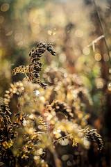 The Last Impression (eriklvquist) Tags: edixatravenara50mmf28 aschachtulm vintage bokeh spots golden crisp autumn plant flower m42 em1omd olympus manual yellow green