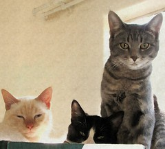 (+music) Triad (CatnessGrace) Tags: cats felines chats gatos gatti littledoglaughedstories